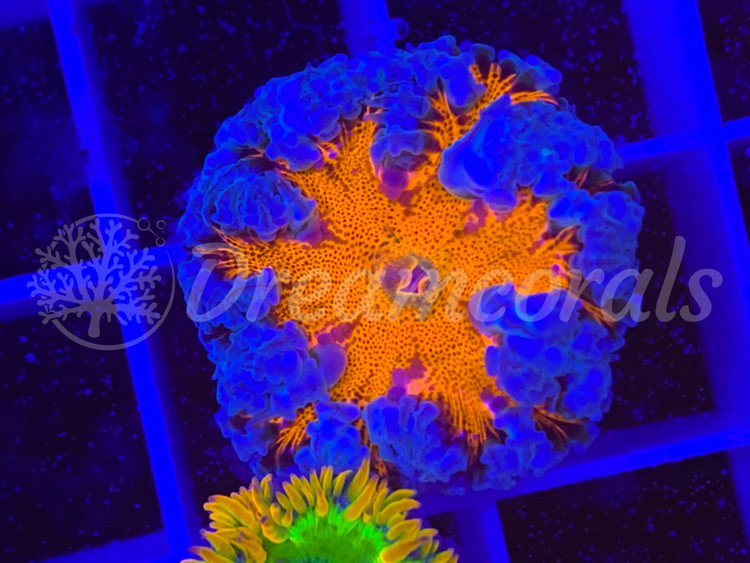 Rock Anemone Multicolor/Rainbow