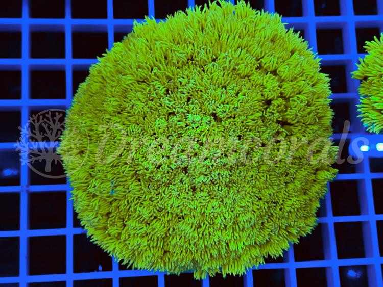 Yellow Goniopora XL
