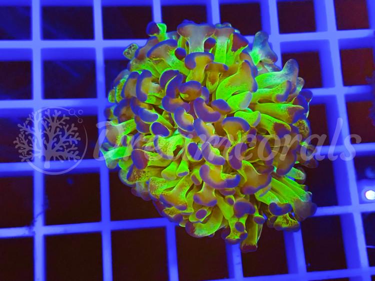 Euphyllia Ancora Premium color