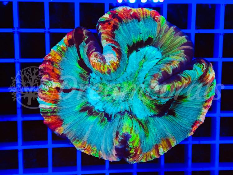 Mastergrade Trachiphyllia Multicolor