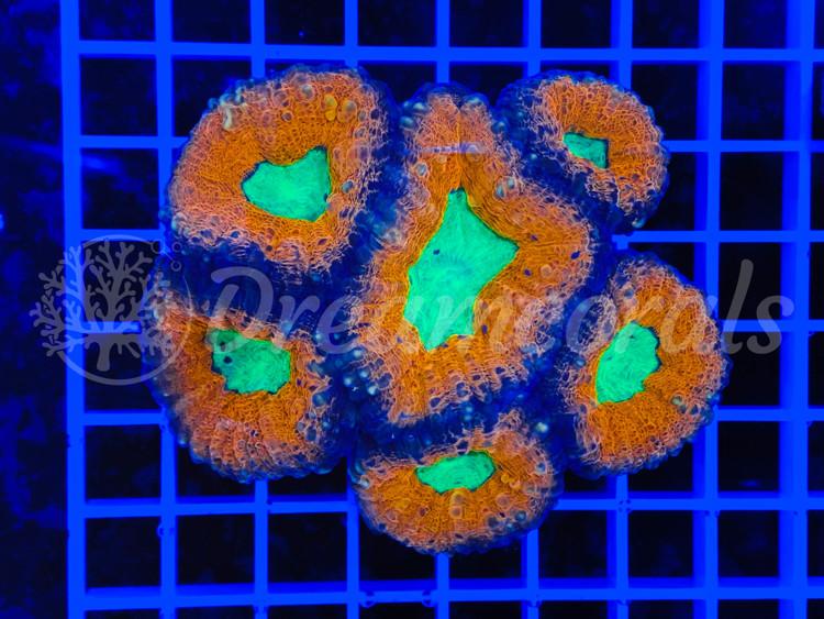 Lobophyllia Ultra