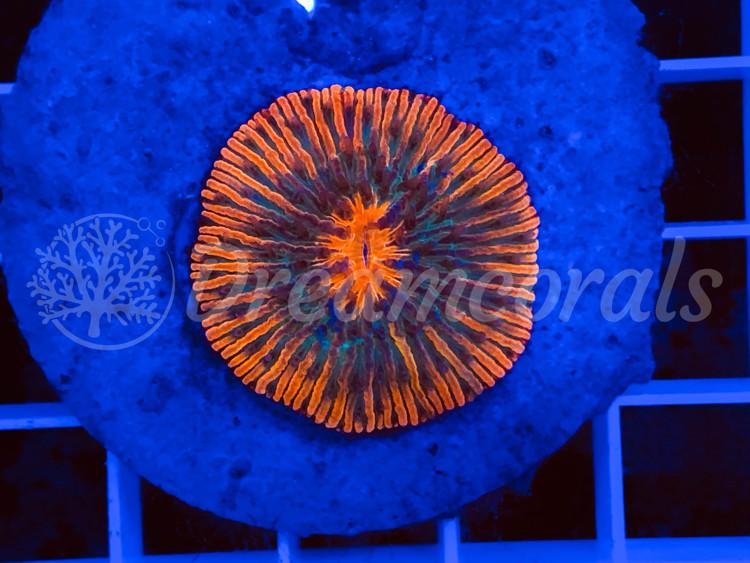 Rainbow Fungia