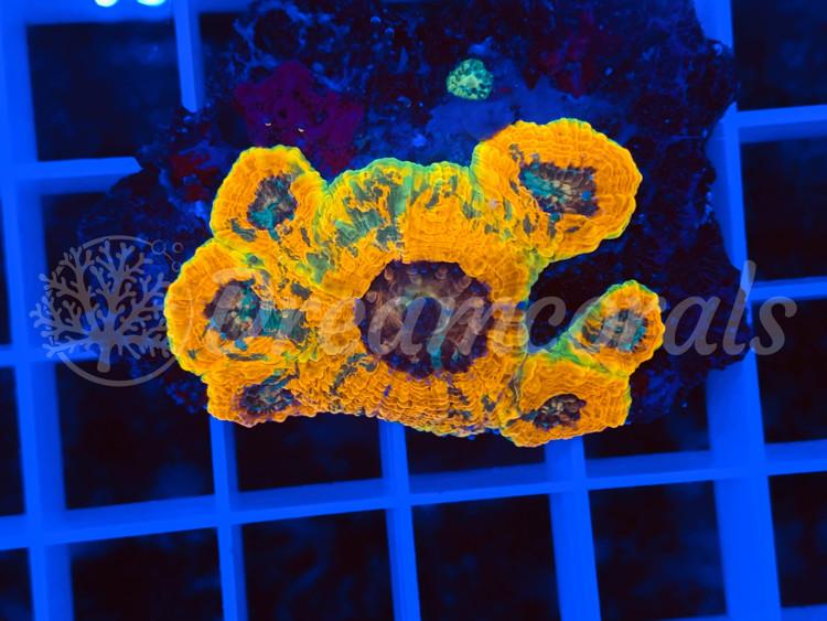 Acanthastrea Echinata Multicolor