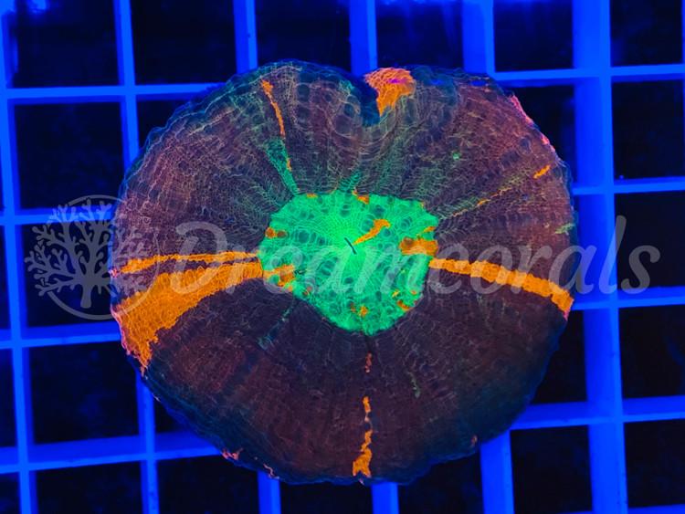 Scolymia Ultra (rare color)