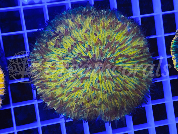 DC Multicolor Fungia