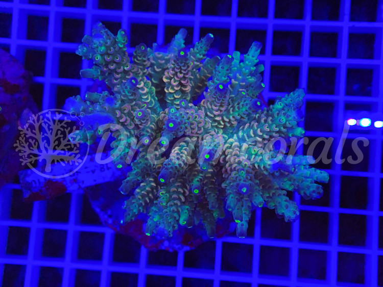 Indo Marineculture Acropora Tenuis