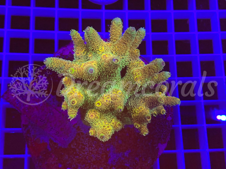 Indo Marineculture Millepora