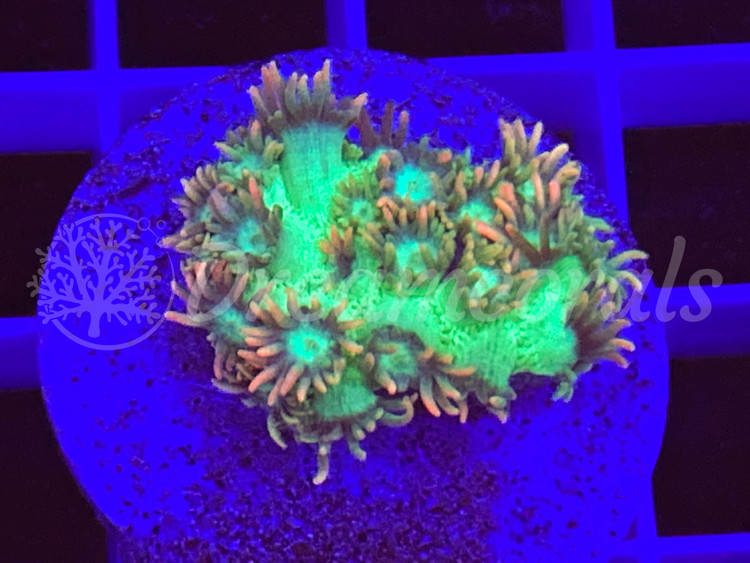 Goniopora pink polyps