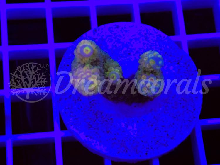Malaesian Marineculture Acropora Tenuis