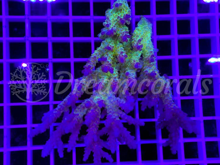 Australian Confetti Acropora