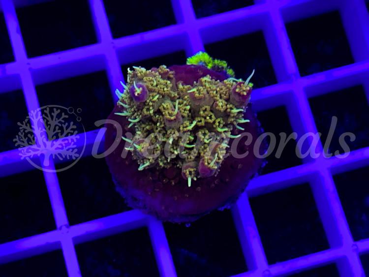 Confetti  Acropora