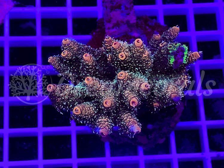 Indo Marineculture Millepora Tenuis