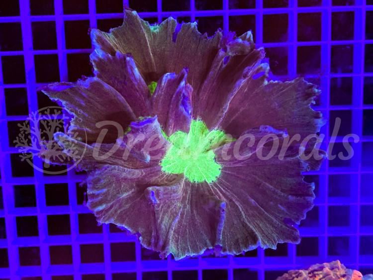 Pectinia Large ~(Dark orange )