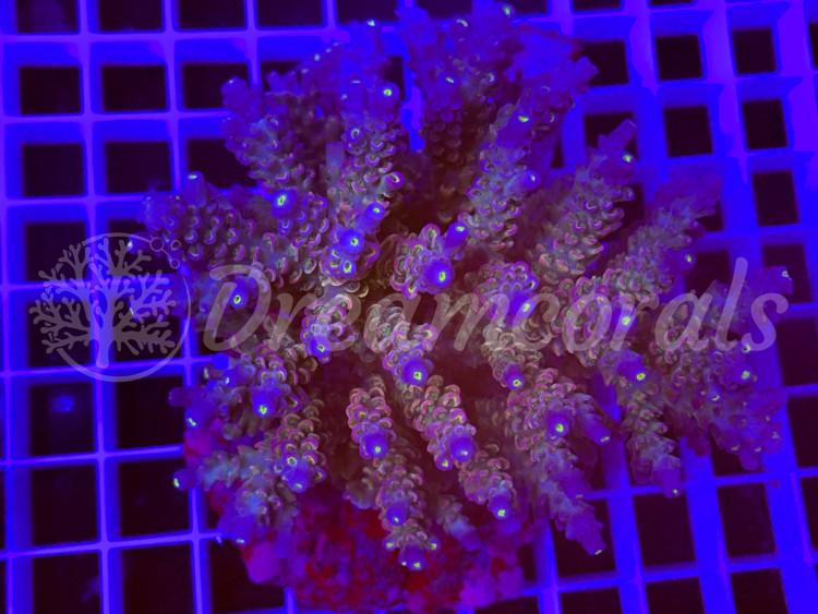 Indo Marineculture Acropora Tenuis.