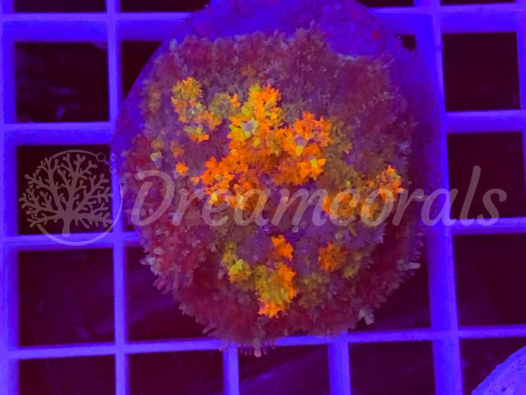 DC Rainbow Gumdrop Bubble rodachtis
