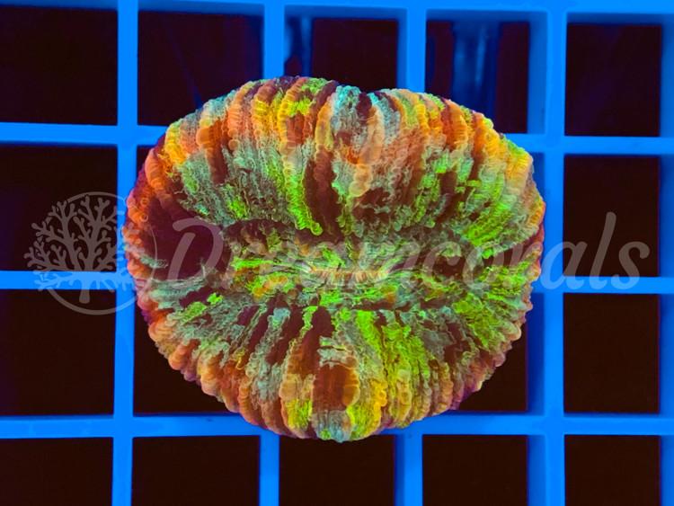 Mastergrade Trachiphyllia nano