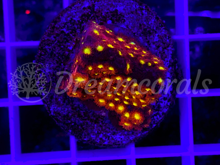 DC Bling Bling Cyphastrea
