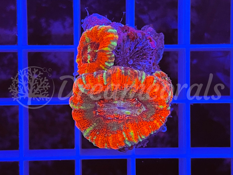 Asian Acanthastrea