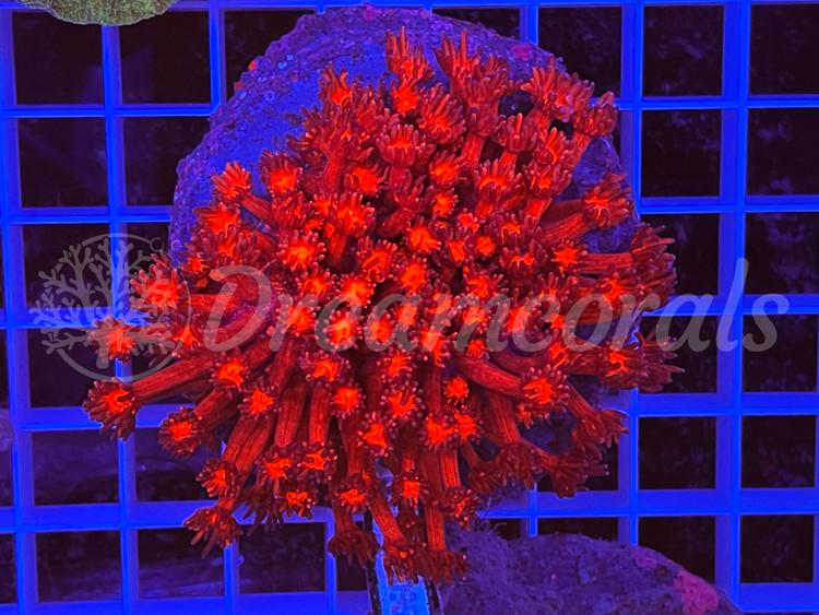 Red Goniopora L