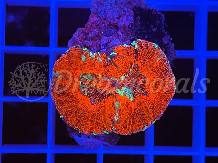 Acanthastrea Maxima