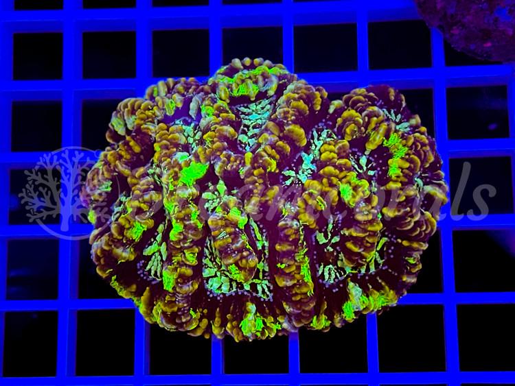 Symphyllia wilsoni