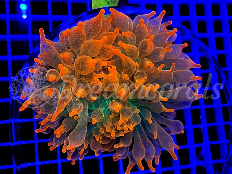 Colorado Sunburst Anemone (rare)