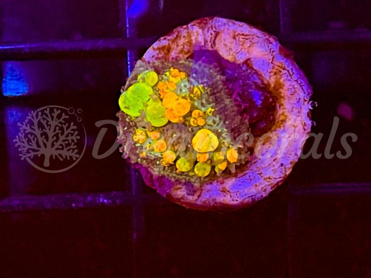 OG Bounce mushroom (the original 100% aquaculture)