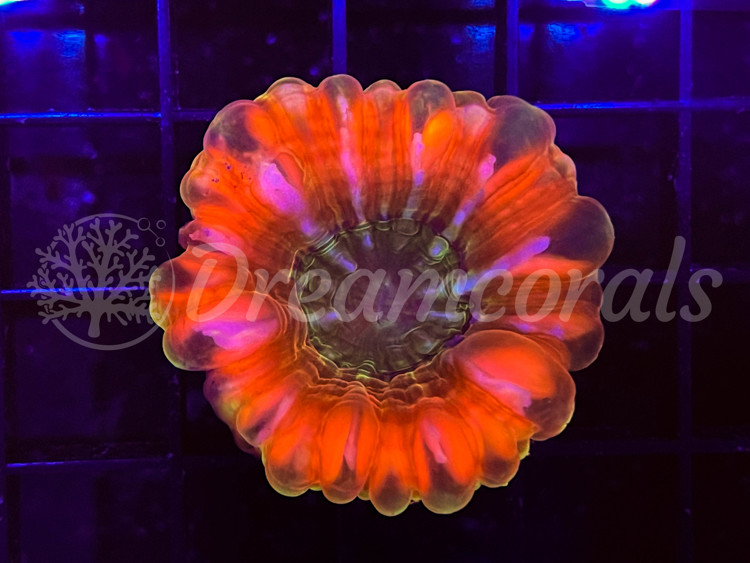 Cynarina Lacrimalis ULTRAGRADE
