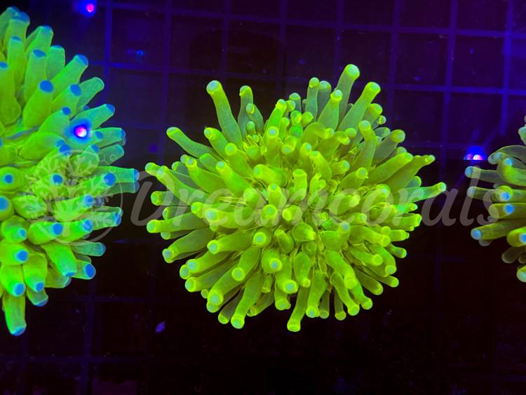 Yellow HG Heliofungia Medium