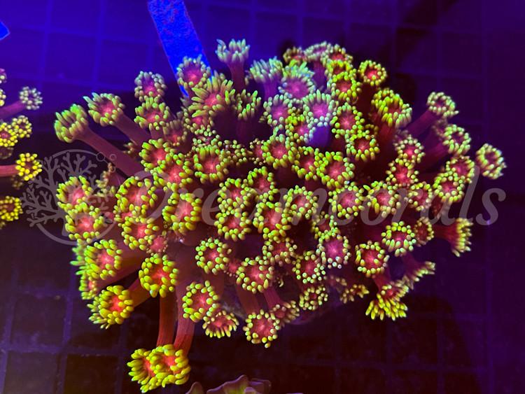Mastergrade Goniopora/Flowersun Goniopora