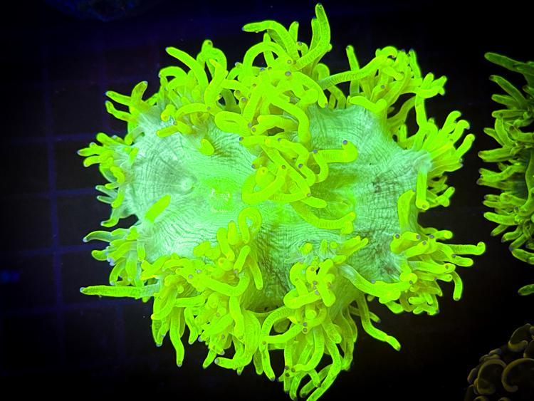 Yellow Catalaphyllia (Chernobyl Sunrise Catalaphyllia) Medium size  strong yellow