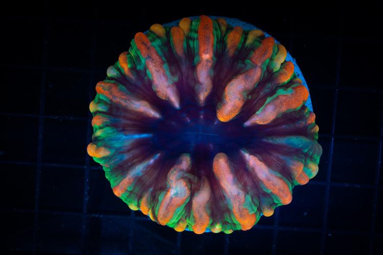 Cynarina Lacrimalis Rainbow