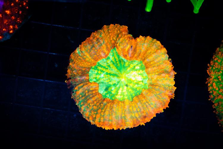 Rainbow Symphyllia