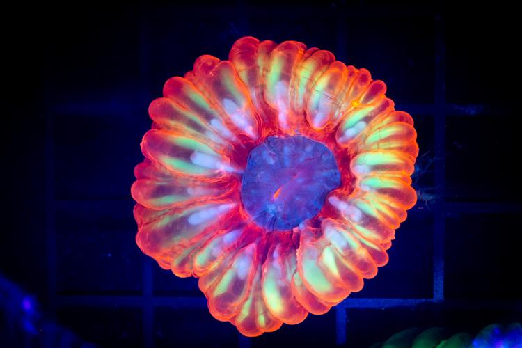 Yellow Ring  Cynarina