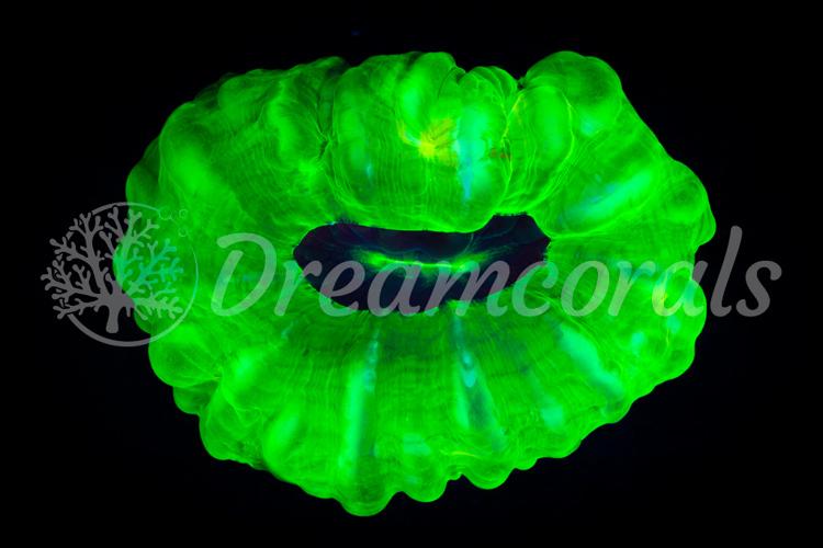 Toxic green Cynarina