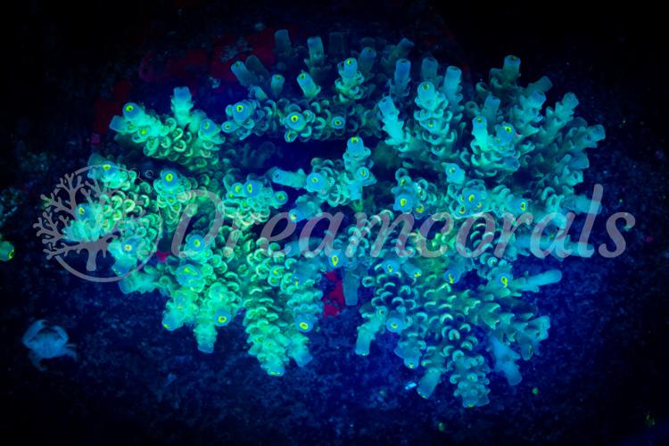 Indo Tenuis 100% aquaculture