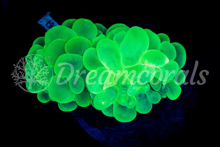 Toxic green plerogyra