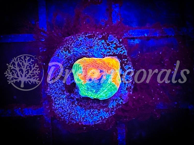 DC Rainbow/Bugatti Chalice (nano) 1-2 cm