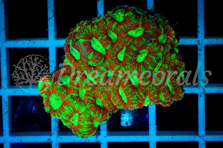 Acanthastrea Micromussa