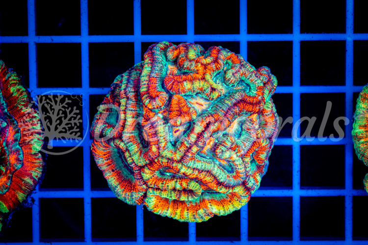 Rainbow symphyllia wilsoni