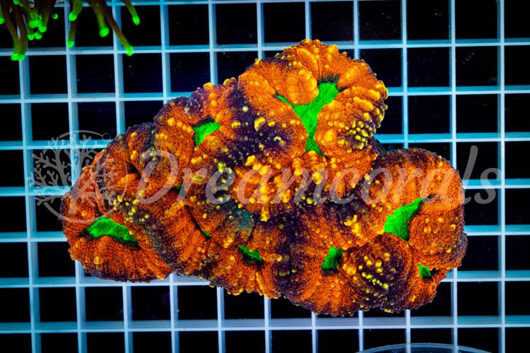 Lobophyllia Aussie