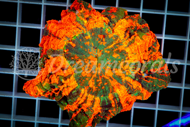 Rainbow Acanthophyllia