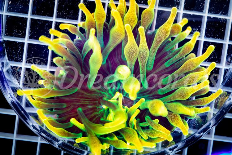 HG Amsterdam Sunburst Anemone (100% European Aquaculture)
