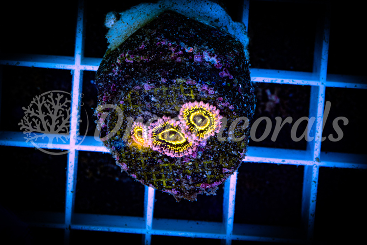 Stratosphere zoa (extremely rare)