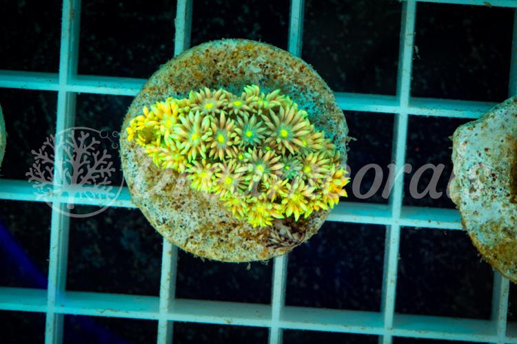 Rainbow Aussie goniopora