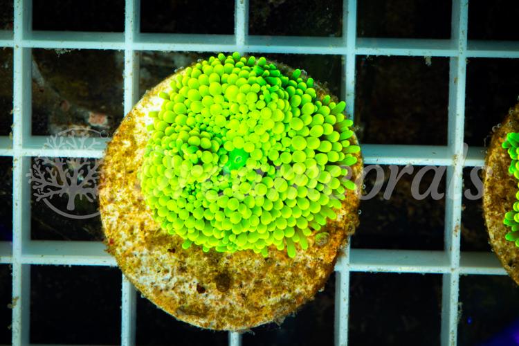 Toxic green Ricordea Florida