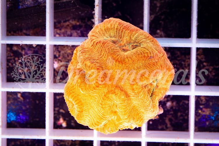 Fluted Moon Coral (Barabatoia)