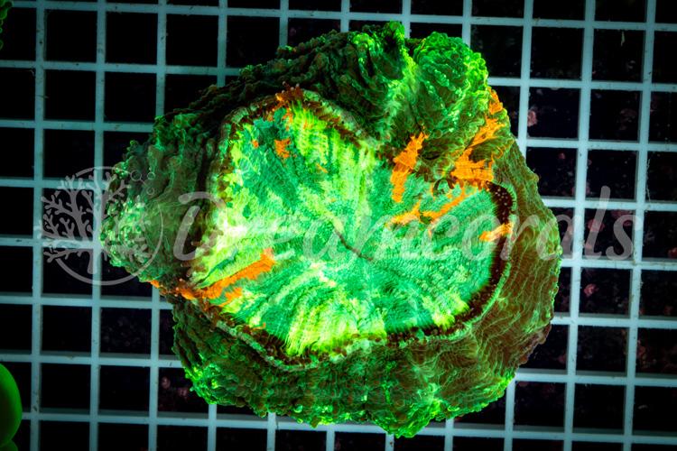 Acanthophyllia