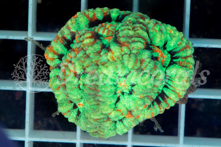 Symphyllia wilsoni S