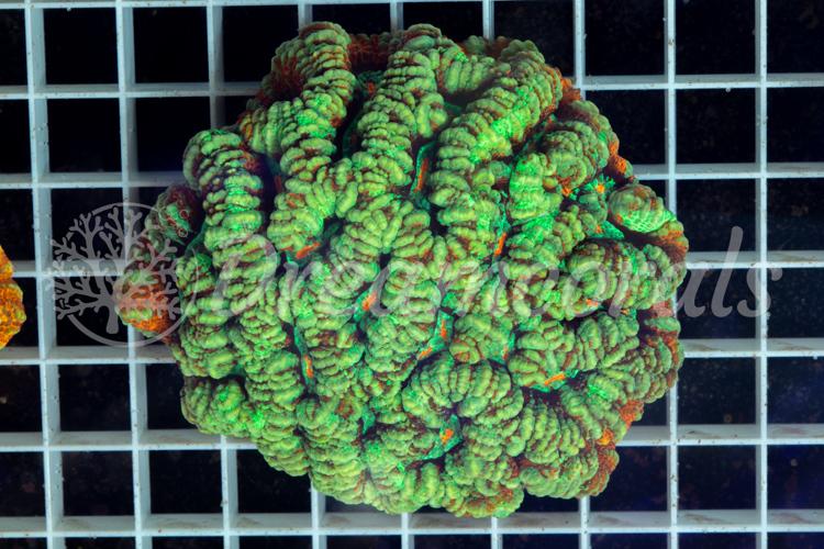 Symphyllia wilsoni L